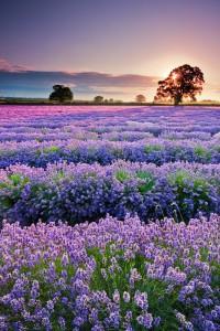 Veld met Lavendel